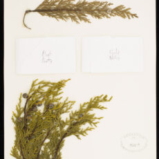 Pressed specimen of Yellow Cedar leaves and cones in the Royal BC Museum botany collection.