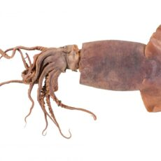 Image of Humboldt Squid laid flat on white background with tentacles outstretched.