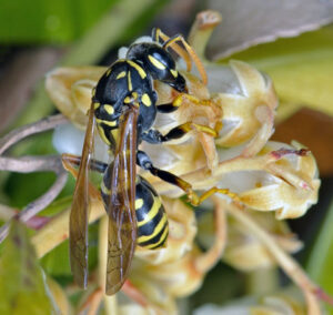 Picture showing European paper wasp on a flower