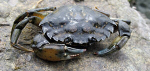 A Green Crab on a rock.