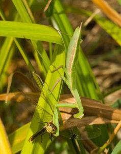 Close up of a Praying Mantis attacking a dragonfly.
