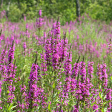 A field of Purple Loosestrife, a tall plant with spears of flowers.