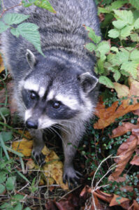 Top view of a raccoon standing on a forest floor, showing the face and front feet of the animal.