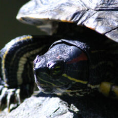 Red-Eared Slider out of the water, showing clawed leg, striped head and front edge of shell.