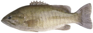 A Smallmouth Bass fish,with dark stripes across the body