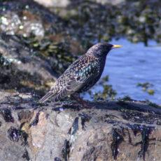European Starling on a rock at an ocean beach.