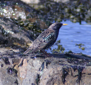 European Starling on a rock at an ocean beach.