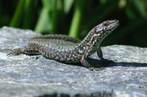 Common Wall Lizard on a rock with its head raised.