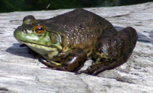 American Bullfrog on land with legs tucked in close to the body.