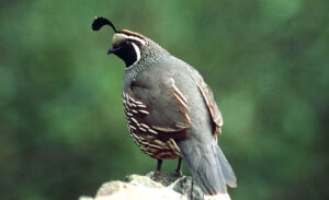 Back and side view of a roosting California Quail, showing the black feather plume on the head.