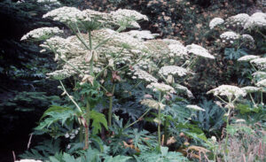 Giant Hogweed with large white blooms.