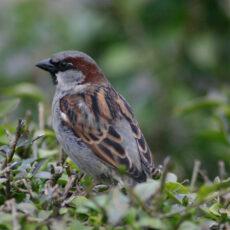 A house sparrow on top of a shrub.