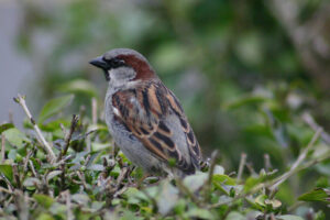 A house sparrow on top of a shrub.