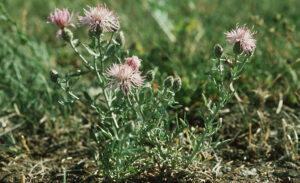 Green Spotted Knapweed with pink blooms.