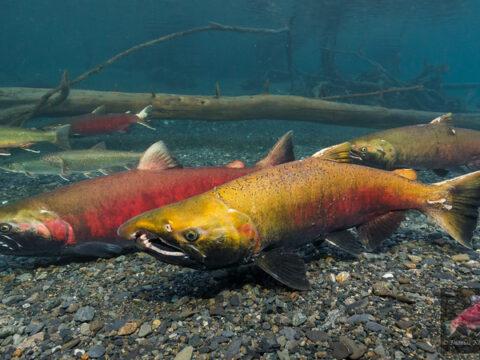 Where Did the Salmon in Bowker Creek Go?