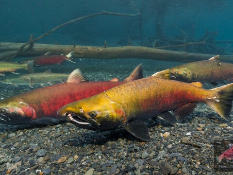 How Can We Get The Salmon Back?