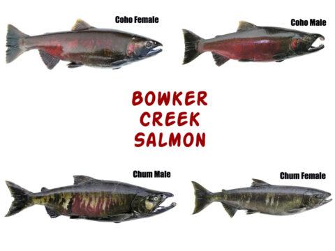Salmon Types