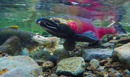 About Salmon: Why Coho are the Ideal Species
