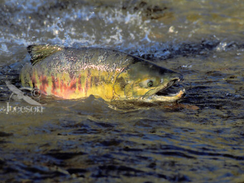 Salmon at Bowker Creek