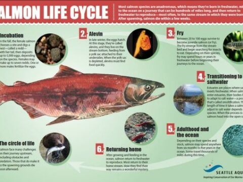 About Salmon: Understanding the Salmon Cycle: