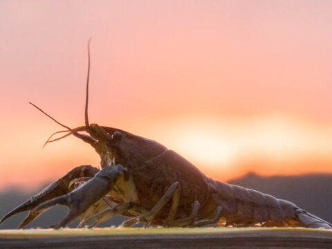 Aquatic animals in Bowker Creek: Crayfish