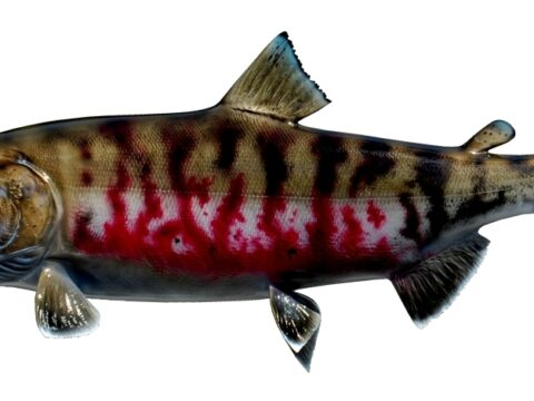 Desired species for the future: Chum Salmon