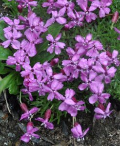 Pink Moss Campion flowers growing on the ground.