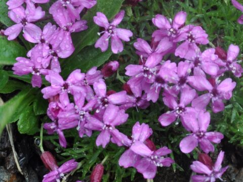 Moss Campion flowers
