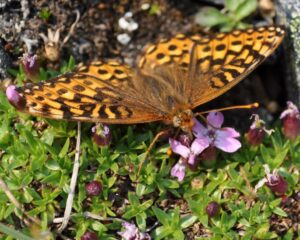 A butterfly landed with wings open, feeds on the nectar of Moss Campion.