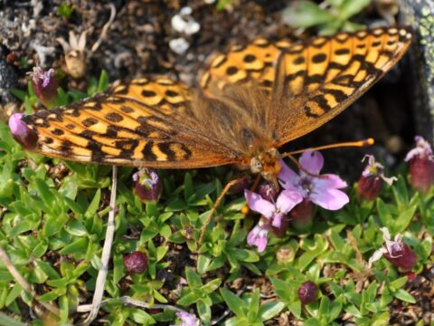 Moss Campion butterfly