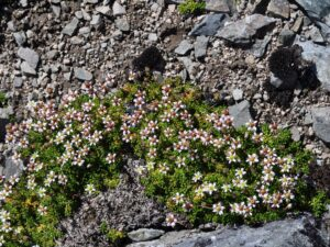 A low-lying flowering plant grows out of rocky gravel.