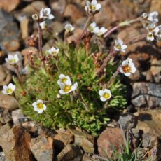 Saxifrage alpine plant, with white flowers in bloom, growing close to the ground.