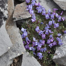 Purple flowers blooming on a low-lying plant growing amidst rocks.