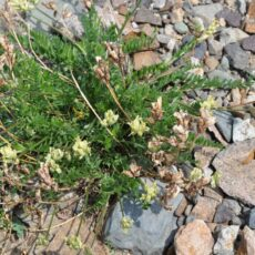 Plant with yellow flowers growing amidst gravel.