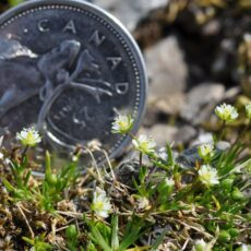A Canadian quarter coin placed beside small white alpine flowers.