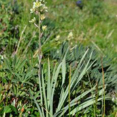A white flowering tundra Death Camas grows among smaller green plants.