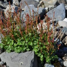 A plant with green leaves and reddish flowers grows among boulders on the ground.