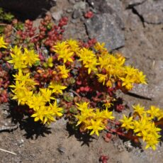 A plant with yellow flowers grows out of a rock.