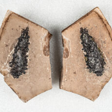 Part and counterpart fossils showing both sides of a conifer cone. The cone has completely turned into coal; however, the details can still be seen on the edges of the specimen.
