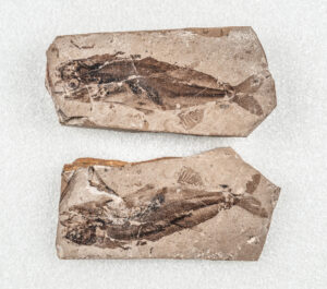 A pair of part and counterpart fossils showing both sides of a small fish. Details such as the fish's eyes, spine, and fins can be seen very clearly.