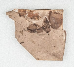 A fossil with a number of leaves, two of which show insect damage. Details of the primary, secondary and tertiary veins of the two leaves can be seen against the lighter background of the stone.
