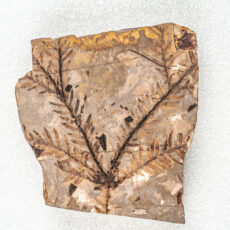 A large fossil depicting twigs forking off of a main branch. Both the branches and twigs are lined with small thin leaves.