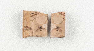 A pair of part and counterpart fossils showing both sides of an insect with its wings and legs spread out.