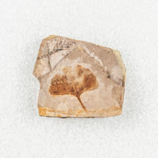 A fossil with a Ginkgo leaf shaped like a hand fan.