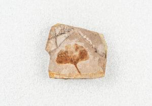 A fossil with a Ginkgo leaf shaped like a hand fan.