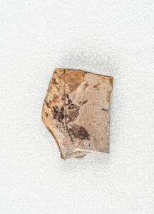 A fossil of a cluster of small fruits and two angiosperm (flowering plant) leaves.