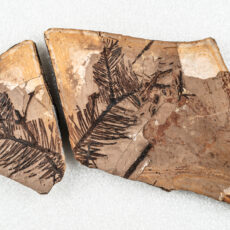A pair of part and counterpart fossils showing both sides of a conifer branch forking into three smaller branchlets.
