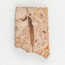 A fossil of a very thin leaf. The edges of the leaf are toothed and the primary and secondary veins of the leaf are well defined.