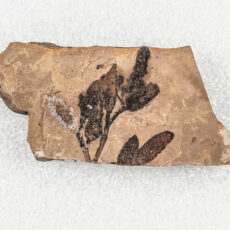 A detailed fossil of a group of Alder fruits connected by a branch.