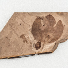 A piece of fossil with a tulip-shaped leaf and an insect beside the leaf. The leaf is a characteristic Three-Lobed Sassafras leaf; the insect is unidentified.